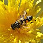 Trivittatus hoverfly