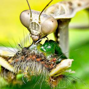 Mantis Eating Caterpillar by Whayne Peñero - Novices Only Macro
