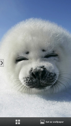 Baby Seal Animal Wallpapers