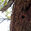 Acorn Wood Pecker Home