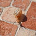 Helicid snail