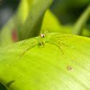 Magnolia Green Jumping Spider