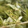 Mantis instar