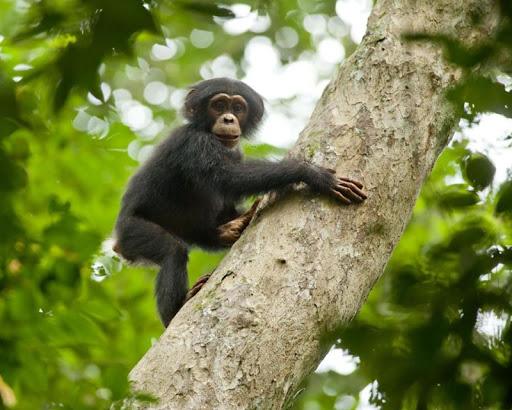玩免費個人化APP|下載チンパンジーの壁紙 app不用錢|硬是要APP