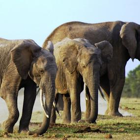 Gentle Giants by Nadir Aziz - Animals Other Mammals ( elephants, wildlife, grey, giant, animal,  )