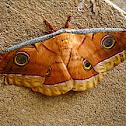 Indian Silkworm Moth