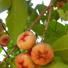Champoo (Rose Apple)