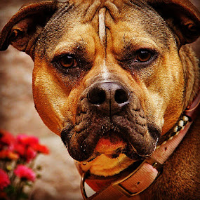Bella by Rusty Jhorn - Animals - Dogs Portraits ( bella, dogs, adopt, mcspca )