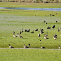 Canada Geese & Ibis