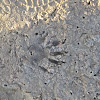 Crocodile tracks