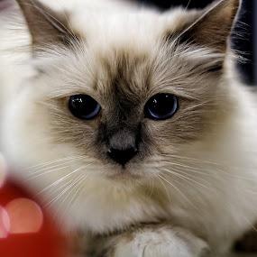 is that ok? by Darko Kovac - Animals - Cats Portraits