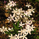 Many-flowered phlox
