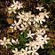 Many-flowered phlox