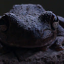 Northern Laughing Tree Frog, Roth's Tree Frog