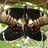 Orchard Swallowtail (mating)