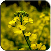 Canola flower Live Wallpaper