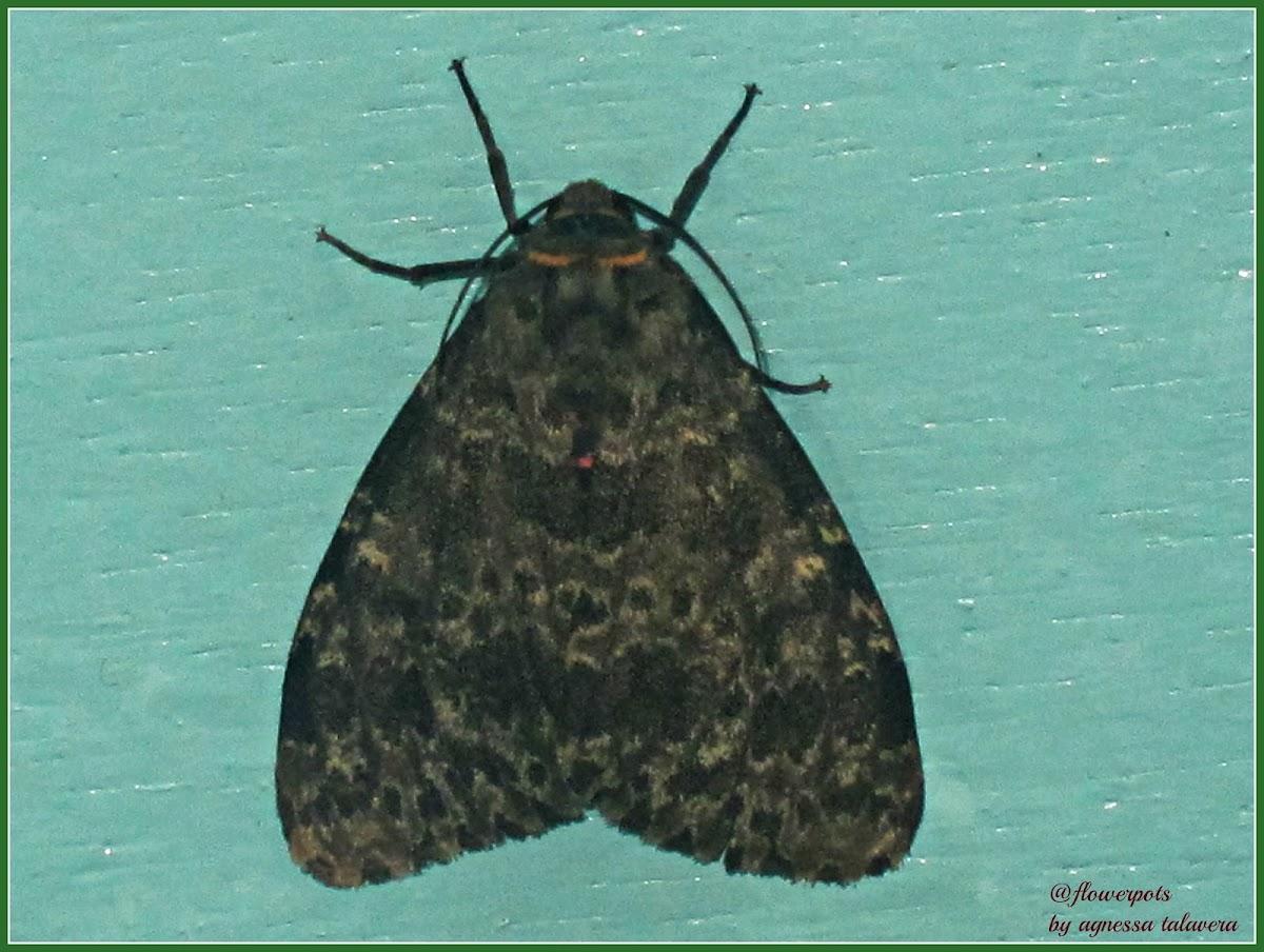 Olepa Arctiid Moth