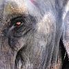 गजराज Asian elephant