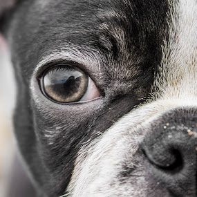 Boston terrier by Barrington Dent - Animals - Dogs Puppies ( face, boston terrier, puppie, dog, eyes )