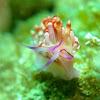 Redline Nudibranch