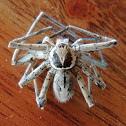 Galapagos huntsman spider