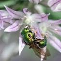 Sweat bee (3)