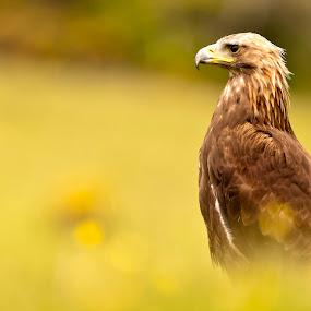 Golden Eagle by Simon Armstrong - Animals Birds ( scotland, eagle, aquila chrysaetos, golden eagle, raptors )