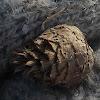 Midge (Willow Pine Cone Gall)