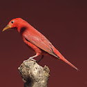 Summer tanager. Tangara Veranera. Macho / Male