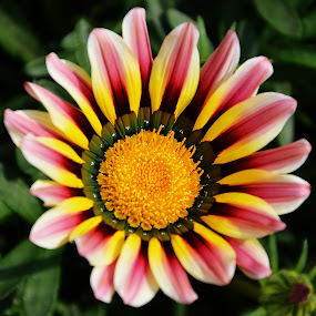Flower by Saptarshi Datta - Flowers Single Flower ( flower winter yellow garden )