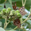 American Snout Butterflies