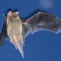 Java Pipistrelle