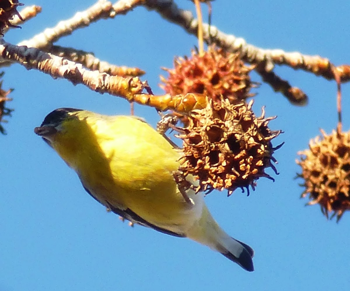 lesser gold finch (Male)