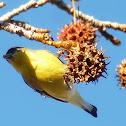 lesser gold finch (Male)