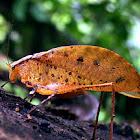 Katydid (Tettigoniidae)