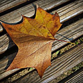 by Tatjana Koljensic - Nature Up Close Leaves & Grasses ( fall leaves on ground, fall leaves )
