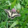 Old World Swallowtail/Lastovičar