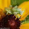 Jagged ambush bug (nymph)