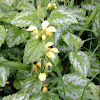 Yellow Archangel, Dummy Nettle, Weasel Snout.