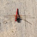Scarlet Percher Dragonfly (Male)