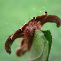 Monkey Slug Caterpillar, Lagarta Aranha(Brazil)