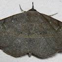 Variable Metallata Moth