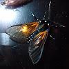 Amber Arctiid Moth