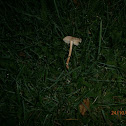 Fairy Ring Champignon?