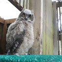 Great Horned Owl (chick)