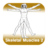 Anatomy - Skeletal Muscles 2