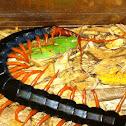 Giant Redheaded Centipede