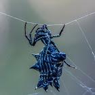 Spined micrathena (female)