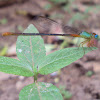 Bi-Colored Damselfly