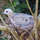 Rolinha-picui (Picui Ground-Dove)